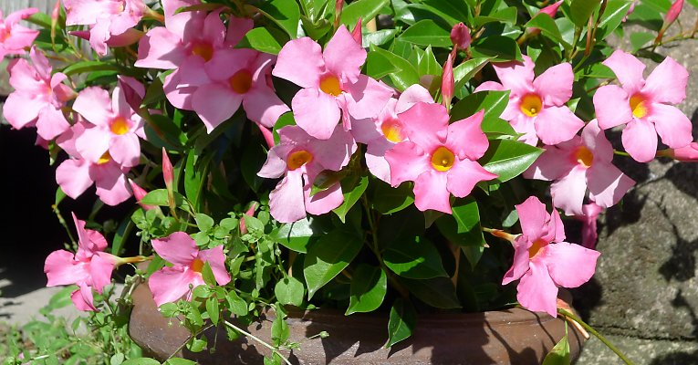 Difference Between Dipladenia And Mandevilla